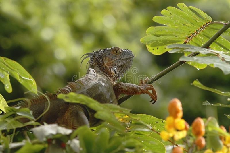 Green Iguana sitting on a branch in the rainforest, Costa Rica, Lizard`s head close-up view. Small wild animal looks like dragon royalty free stock photography