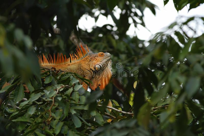 Green Iguana sitting on a branch in the rainforest, Costa Rica, Lizard`s head close-up view. Small wild animal looks like dragon. Green Iguana sitting on a stock photography