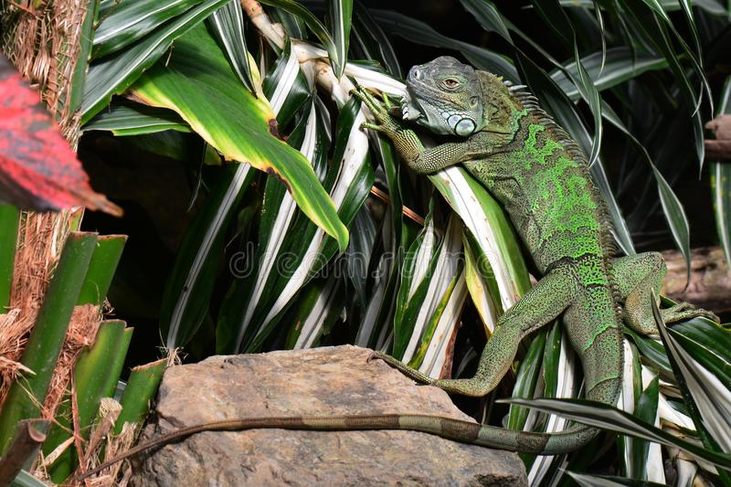 Green iguana. A green iguana suns itself on a plant in the jungle environment royalty free stock image
