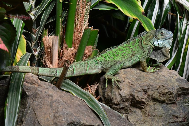 Green iguana. A green iguana suns itself on a rock in the jungle environment stock photo
