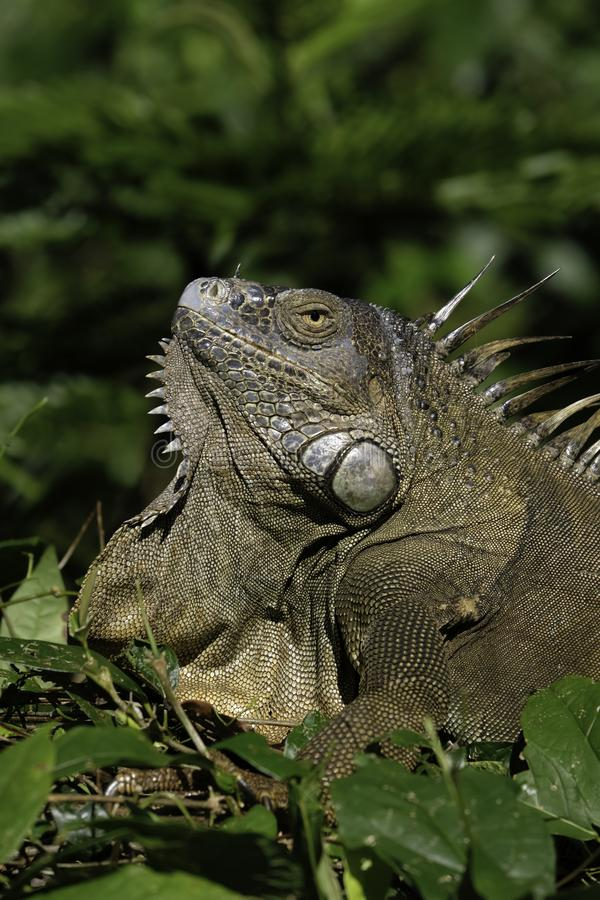 Green iguana in the thicket. A green iguana in the thicket of Tortuguero National Park taking a sunbath stock images