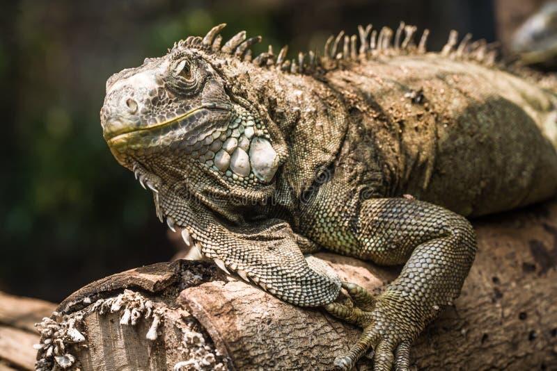 Green Iguana. On the tree stock photos