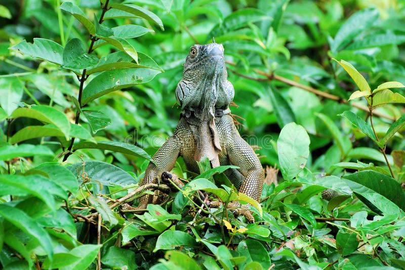 Green iguana in a tree - large species of lizard - central America – Costa Rica. Green iguana in a green tree - large, arboreal, mostly herbivorous royalty free stock images