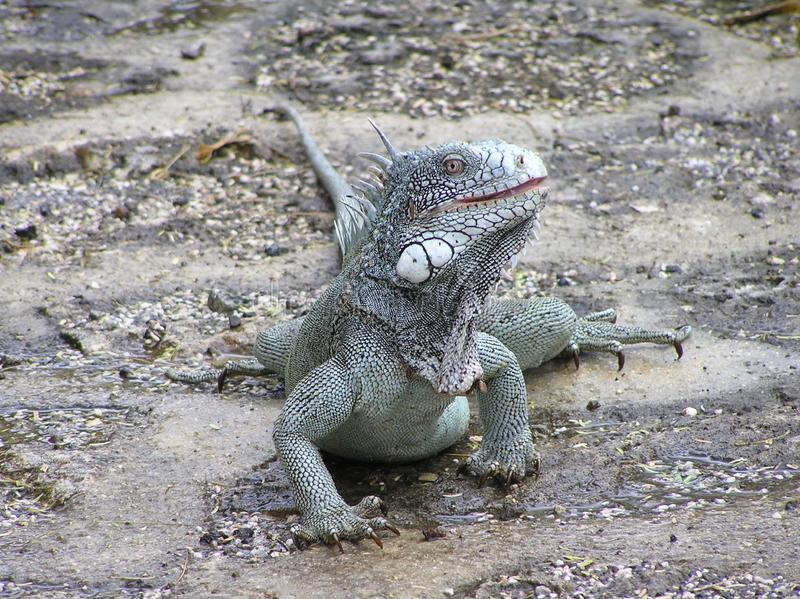 Green iguana on wet ground. Large lizard of the iguana family of light green color sits guardedly on wet ground after rain stock photography