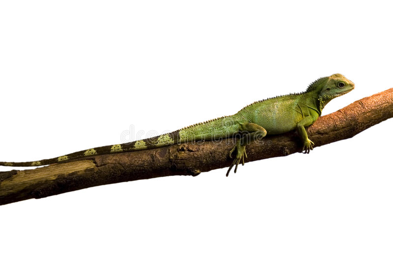 Green Iguana (white background). Green Iguana in a tree, with a white background stock photo