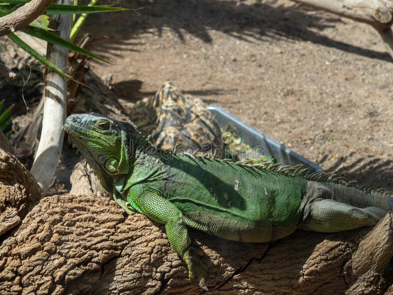 Green IguanaIguana iguana. In Gran Canaria island, Spain royalty free stock photos