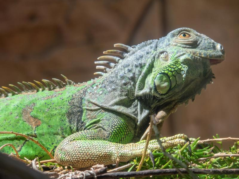 Green IguanaIguana iguana. In Gran Canaria island, Spain royalty free stock images