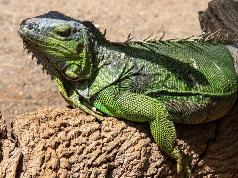 Green IguanaIguana iguana. In Gran Canaria island, Spain stock images