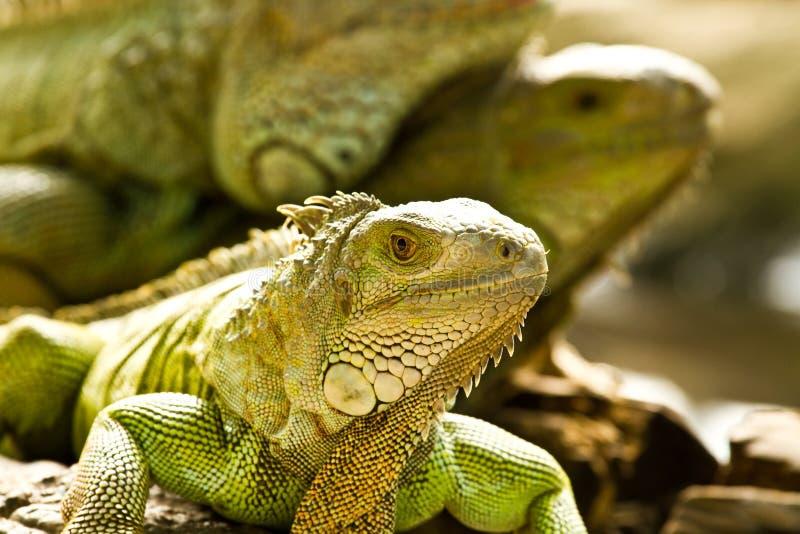 Green iguna. In nightsafari zoo chiangmai Thailand stock photos