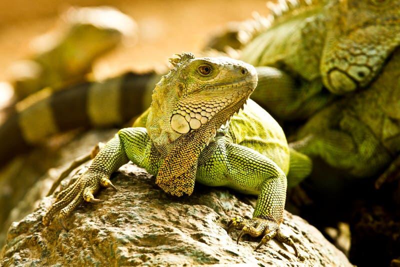 Green iguna. In nightsafari zoo chiangmai Thailand stock photography