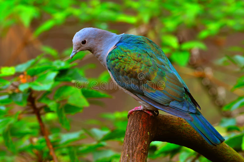 Green imperial pigeon stock image