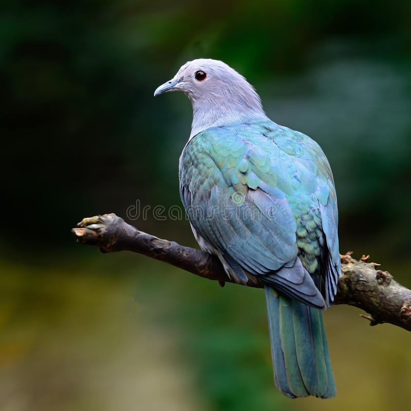 Free Green Imperial Pigeon Royalty Free Stock Image - 32632696