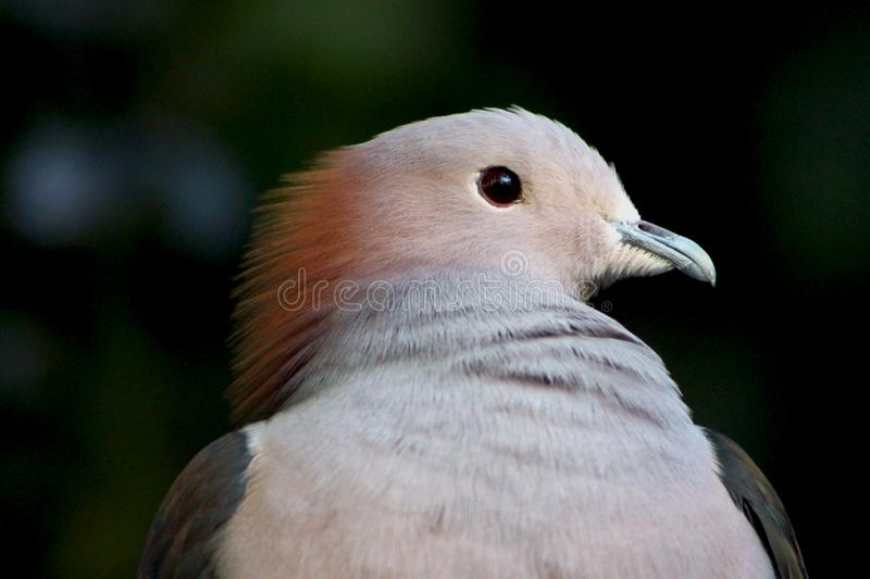 Portrait of Sulawesi green imperial pigeon. The green imperial pigeon Ducula aenea is a large forest pigeon. The green imperial pigeon is a large, plump pigeon royalty free stock photos