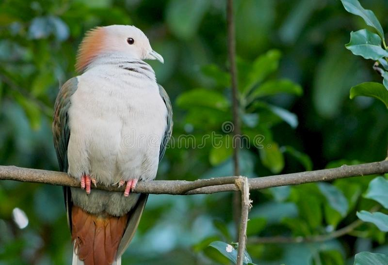 Portrait of Sulawesi green imperial pigeon. The green imperial pigeon Ducula aenea is a large forest pigeon. The green imperial pigeon is a large, plump pigeon royalty free stock image