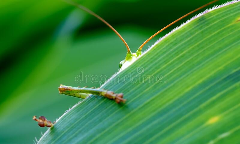 Green Insect Behind Green Leaf royalty free stock photography