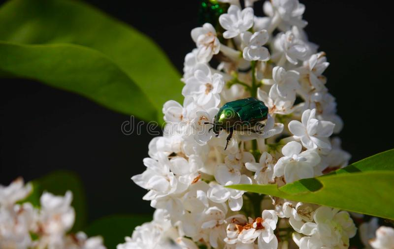 Green insect on the blossom flower stock image