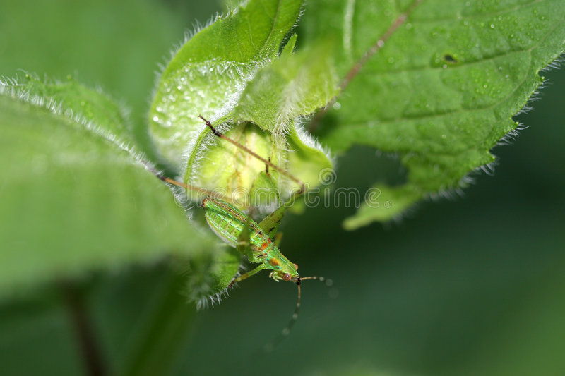 Green Insect On Plant Leaf Royalty Free Stock Image