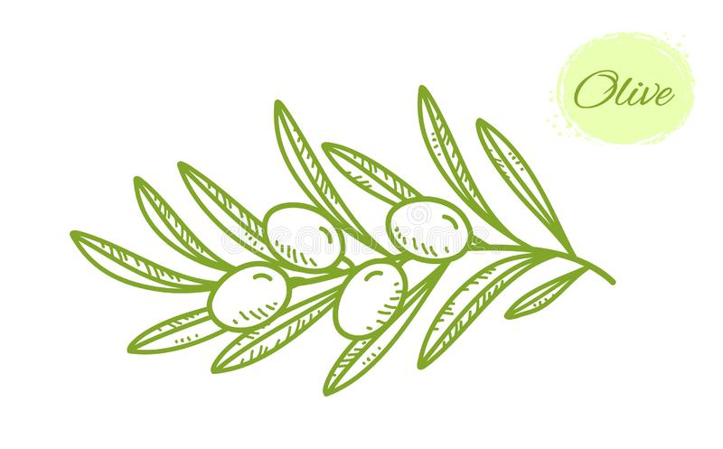 Green isolated hand drawn olive branch with leaves stock illustration
