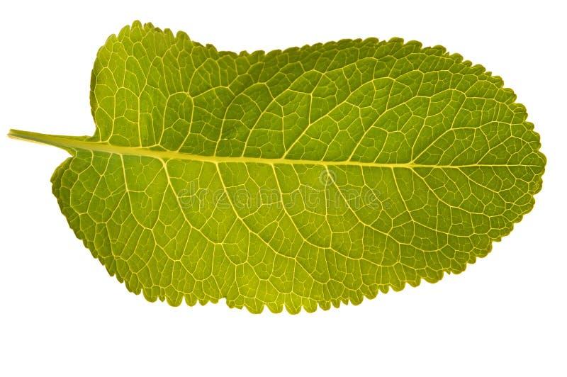 green isolerad leaftextur royaltyfria foton