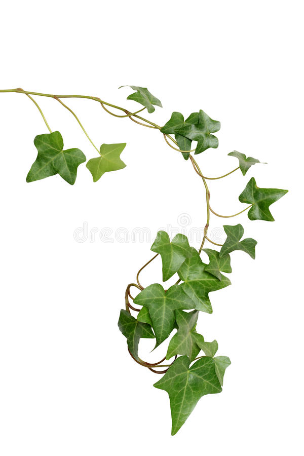 Free Green Ivy Stock Images - 14009974