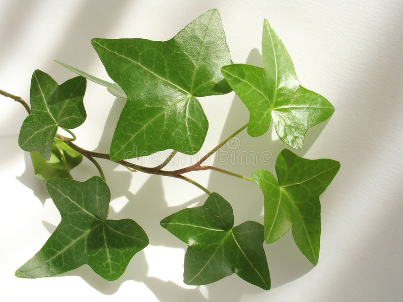 Green ivy stock image