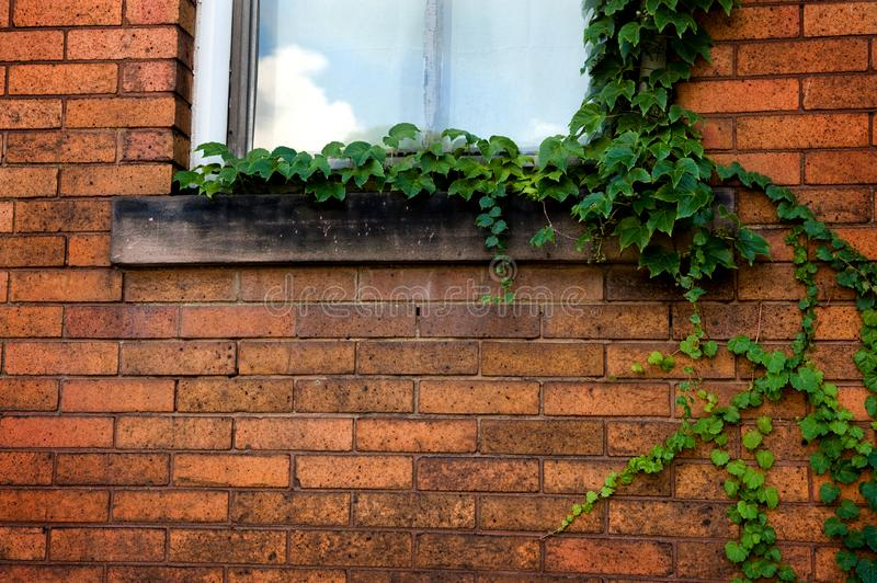 Download Green Ivy on Brick wall stock image. Image of background - 6652947