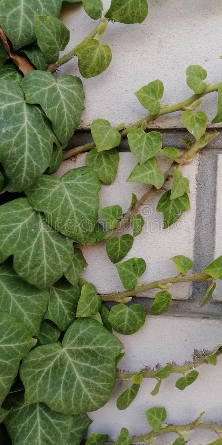 Green ivy on a brick wall. Contrast texture. Living plant and dead stone. Symbolic background royalty free stock photo