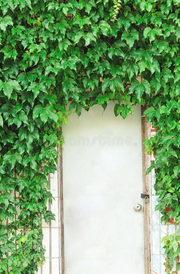 Green Ivy Creep On Wall Stock Photo