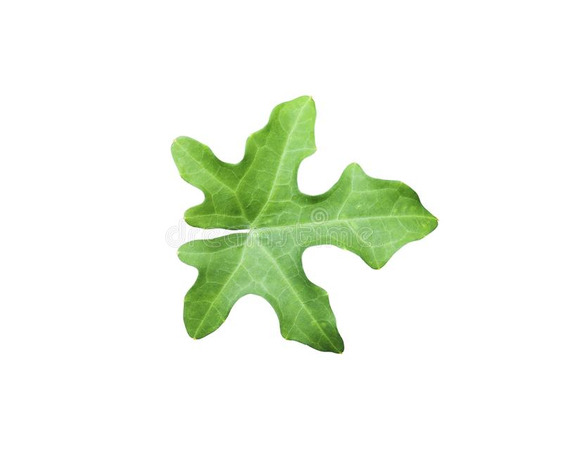 Green Ivy gourd leaf isolated on white royalty free stock photos