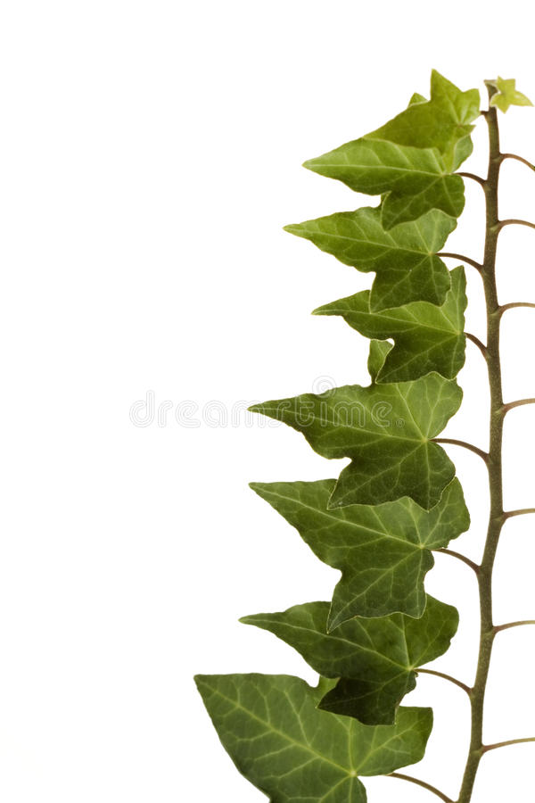 Green Ivy Isolated White Background stock images