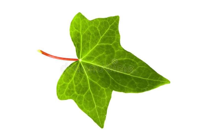 Green ivy leaf. On white background royalty free stock photography