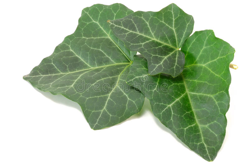 Download Green ivy leaves stock photo. Image of isolated, white - 26932324