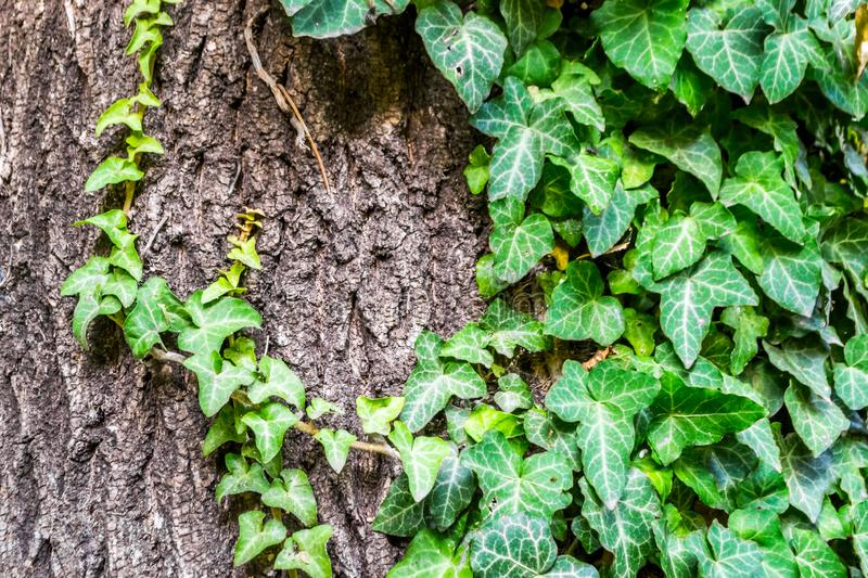 Ivy Leaves. Green ivy leaves on an old trunk of tree royalty free stock photo
