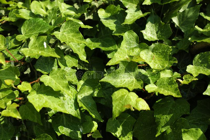 Green ivy leaves with rain drops as. Background royalty free stock photography