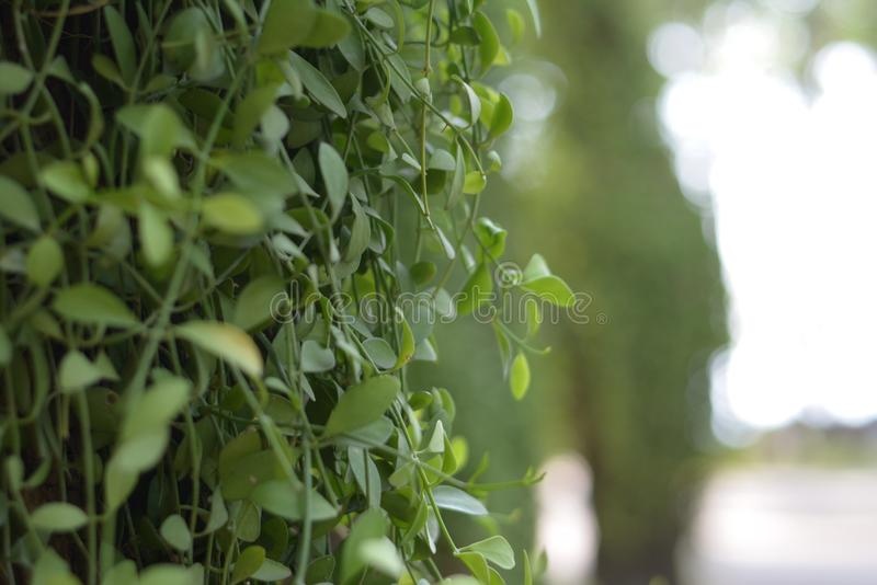 Green ivy leaves on the trees. stock image