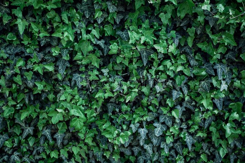 Green ivy leaves on wall. Texture details of natural green ivy leaves on wall. Fresh background for wedding album, spring greeting card and invitation, perfect stock photography