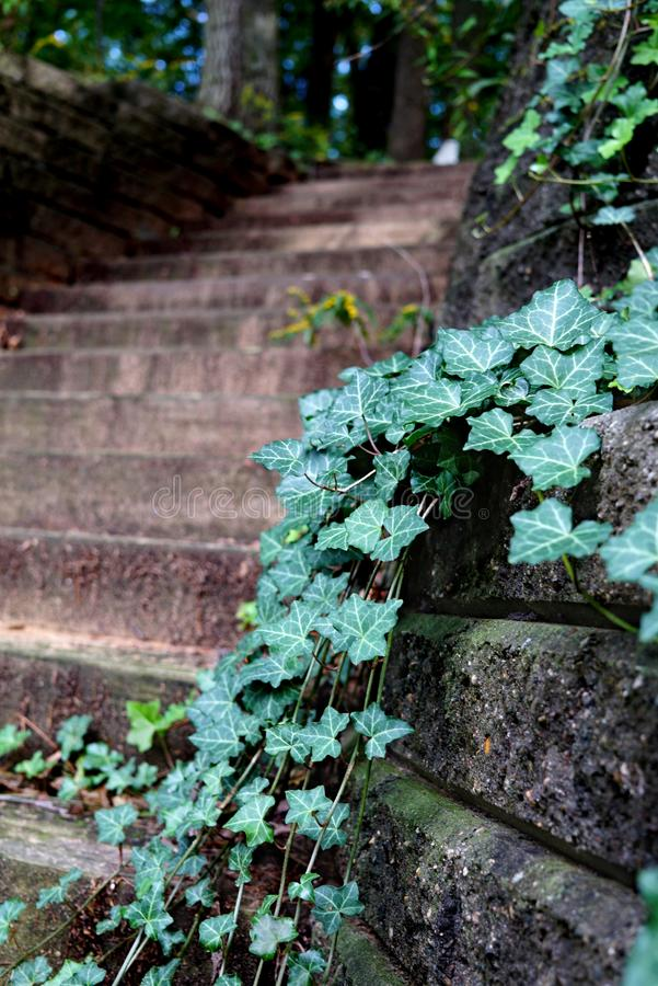 Green ivy and moss grows on the Stone Wall and wooden stairs royalty free stock photo