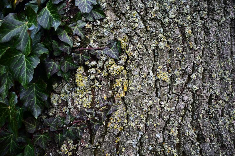 Efeu an Baum royalty free stock images