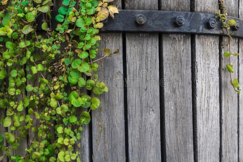 Green ivy on an old wooden barrel. The plant is woven along cracked wooden planks. Old surface. Empty space for text.  stock photography