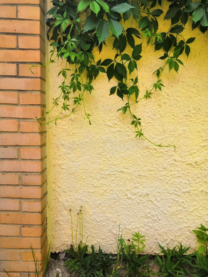 Green ivy on old yellow cement wall in the sunlight royalty free stock photo
