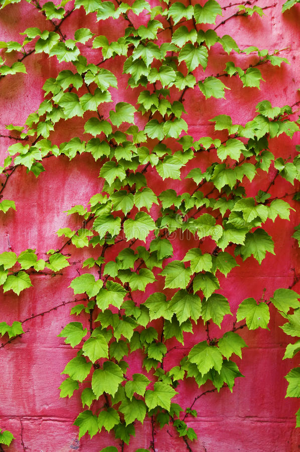 Download Green ivy on pink wall stock image. Image of greenness - 9958739