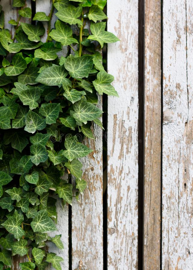 Green ivy on shabby old wooden fence vertically. Green fresh ivy on white shabby old wooden fence vertically stock photos
