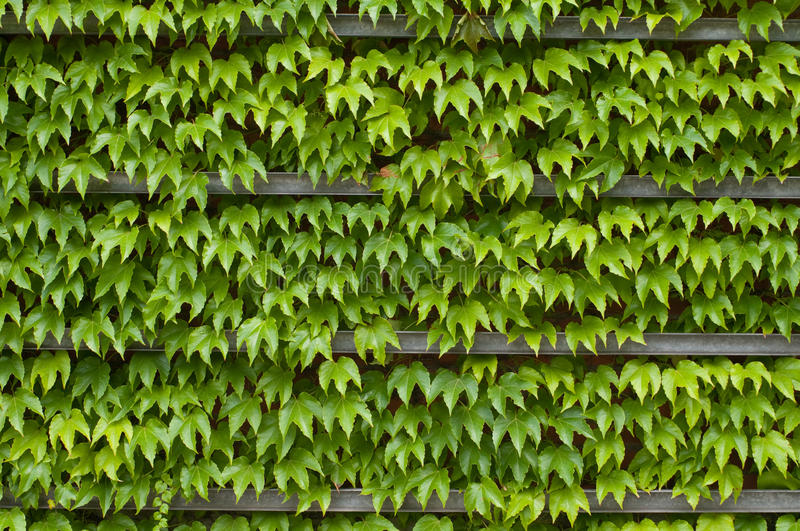 Green ivy texture. Green ivy on wall with fresh leaves texture background stock photos