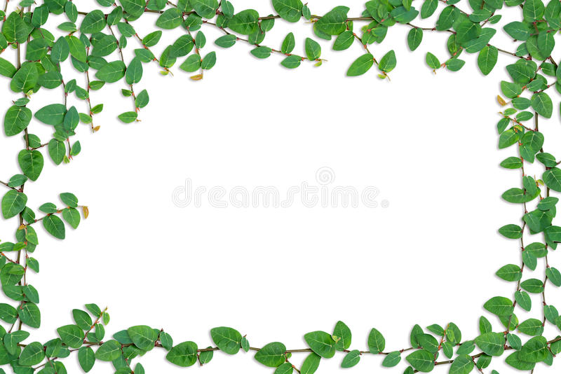 Green Ivy on the wall. Border of Green Ivy on the wall stock photo