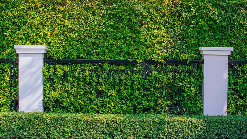 Green ivy on the wall royalty free stock photos