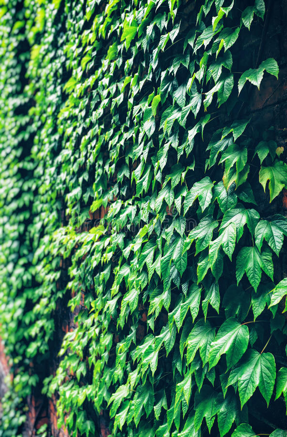 Green ivy on the wall stock image