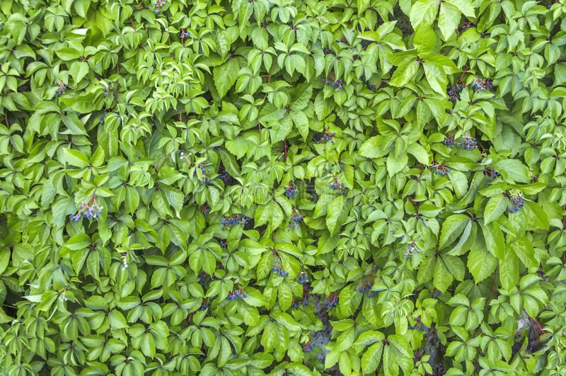 Download Green Ivy Wall Texture Like Garden Seamless Bush Fence Pattern Stock Image
