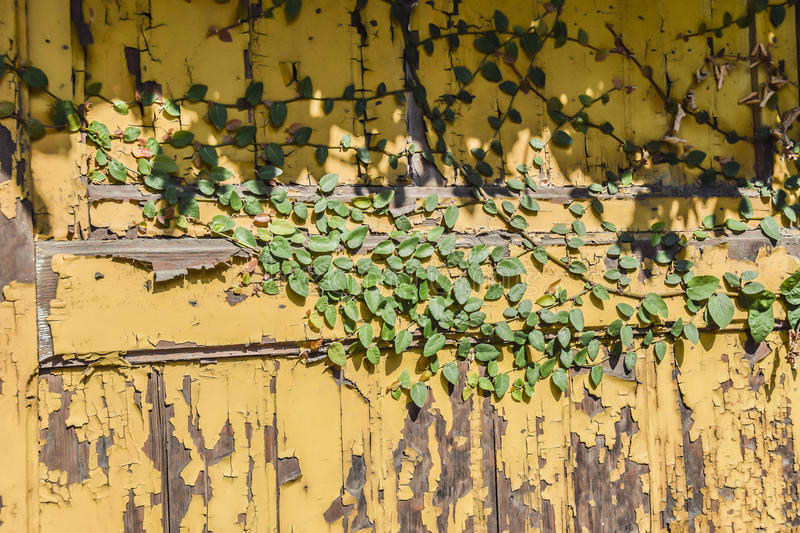 Green ivy on a yellow wall. With a peeled paint background royalty free stock images