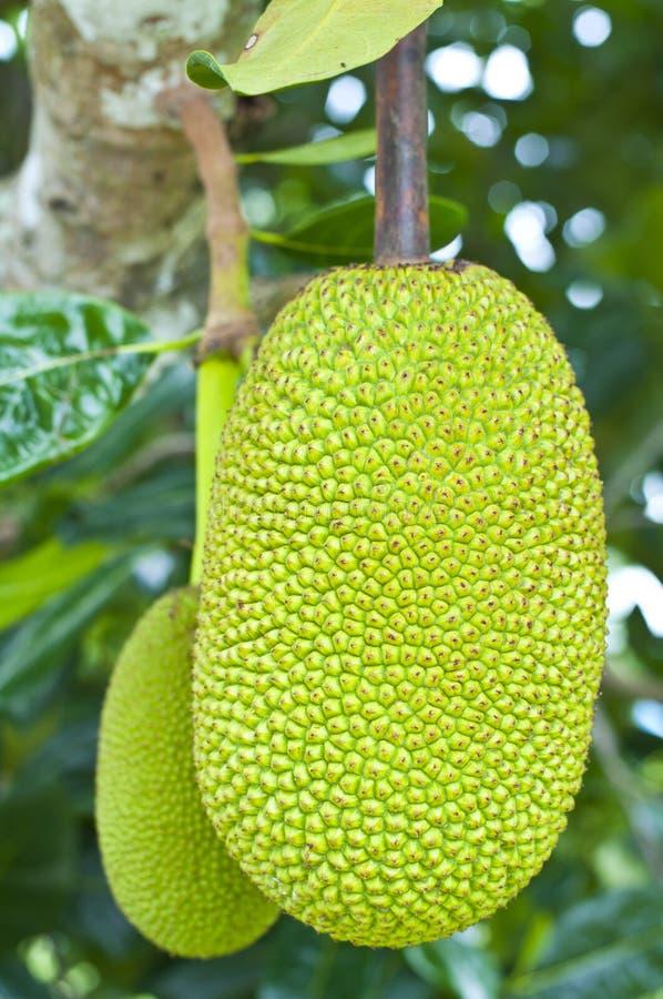 Download Green Jackfruit Royalty Free Stock Photography - Image: 26433007