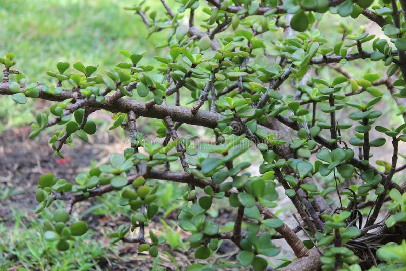 Green Jade Plant Crassula Ovata. The popular Green Jade plant Crassula Ovata is grown in many gardens around the world as its rounded leaves are symbolic of royalty free stock photos